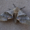 A big poplar sphinx moth resting on Sparks Hall's south wall Wednesday, July 6, 2016. (Photo by Tena L. Cook/Chadron State College)