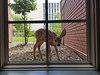 A fawn peers into a garden level window in Sparks Hall July 12, 2017. (Photo courtesy Kari Gaswick and Morgan Cullan)