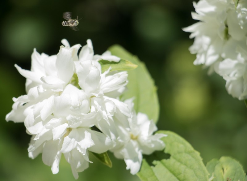 A bee hovers over a mock orange bush in the Virgil and Delores Ireland garden between Old Admin and Sparks Hall on the Chadron State College campus Tuesday, June 20, 2017. (Photo by Tena L. Cook/Chadron State College)