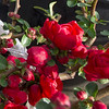 Quince bushes bloom inside a pot at Ozark Nursery on Thursday afternoon. An especially warm late winter has led to the early blooming of many plants.<br /> Globe | Laurie Sisk