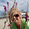 Gayle Navarro peers from behind the buds of a redbud tree at Ozark Nursery on Thursday afternoon. An especially warm late winter has led to the early blooming of many plants.<br /> Globe | Laurie Sisk