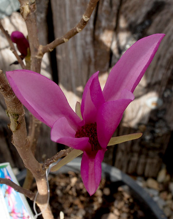A magnolia blooms inside a pot at Ozark Nursery on Thursday afternoon. An especially warm late winter has led to the early blooming of many plants.<br /> Globe | Laurie Sisk