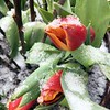 BEN GARVER — THE BERKSHIRE EAGLE<br /> Snow gathers on tulips freshly planted in the planters at Guido's Marketplace.