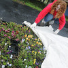Globe/Roger Nomer<br /> Elizabeth Kuharich covers pansies at the Botany Shop Garden Center to protect them from cold temperatures on Tuesday afternoon.