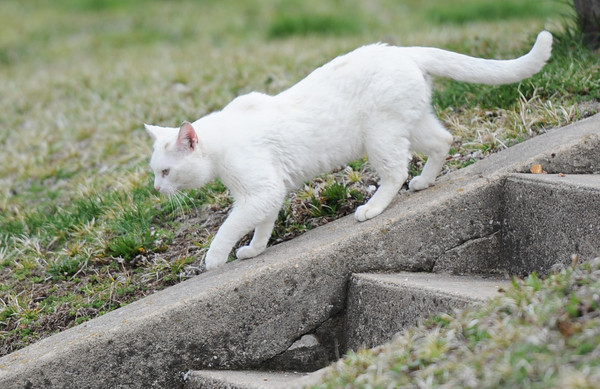 Globe/T. Rob Brown<br /> A cat walks down the edge of a set of steps off Main Street in downtown Granby, not far from the U.S. Post Office, Thursday morning, April 4, 2013.