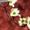 A Dogwood tree blooms at the Neosho National Fish Hatchery on Thursday.<br /> Globe | Roger Nomer