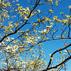 A Dogwood tree blooms in Big Spring Park in Neosho on Thursday.