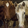 Horses graze during Friday's sale event at Civil War Ranch in Carthage.<br /> Globe | Roger Nomer