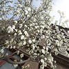 A Bradford pear tree blooms in front of the Frisco Building in downtown Joplin on Friday.<br /> Globe | Laurie Sisk