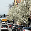 A row of Bradford pear trees line Main street in downtown Joplin on Friday. The trees are among scores of Bradford pears in the downtown area.<br /> Globe | Laurie Sisk