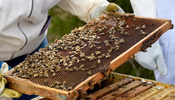 Bees continue their work on a panel of a colony on Friday at Missouri Southern.<br /> Globe | Laurie SIsk