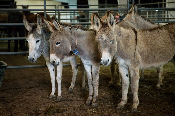 Burros group together during Friday's sale at Civil War Ranch in Carthage.<br /> Globe | Roger Nomer