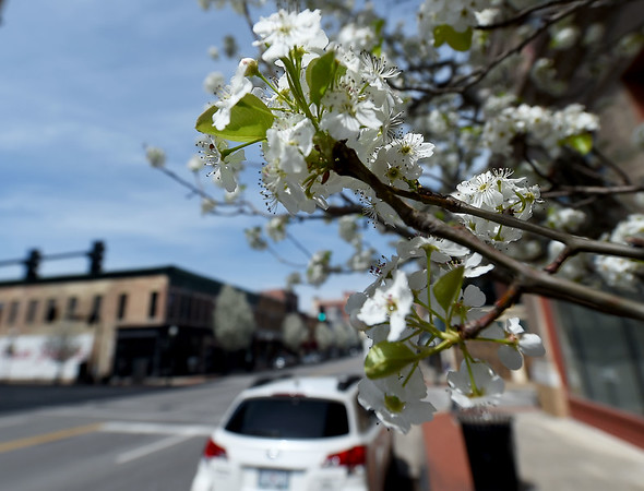 Bradford pear blossoms soak up the sun in downtown Joplin on Friday.<br /> Globe | Laurie Sisk