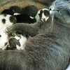Globe/Roger Nomer<br /> The museum's unnamed cat nurses her kittens, six in all, at the Joplin Museum Complex on Monday.