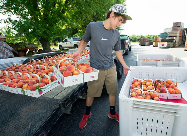 Murphy Orchard employee Samuel Maples, 16, unloads a trailer of fresh-picked Contenders peaches for transport to the orchard's large cooler on Thursday in Marionville. Maples is one of 18 employees at the orchard.<br /> Globe | Laurie Sisk