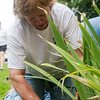 Globe/Roger Nomer<br /> Barbara Remillard helps pull weeds on Wednesday in Carl Junction.
