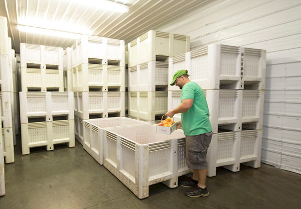 Wes Murphy looks through fresh-picked peaches inside the large cooler on Friday at Murphy Orchard.<br /> Globe | Laurie Sisk