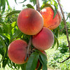 Succulent peaches grow on one of 3,500 peach trees at Murphy Orchard on Friday in Marionville.<br /> Globe | Laurie Sisk