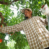 Murphy Orchard employee Raul Bello picks Loring peaches from one of more than 3,500 peach trees in the orchard on Thursday in Marionville. The orchard also contains about 2,500 apple trees and an assortment of other produce.<br /> Globe | Laurie Sisk