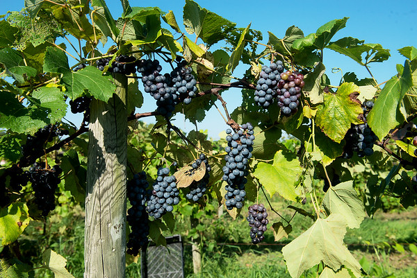 Globe/Roger Nomer<br /> Grapes ripen at Keltoi Winery.