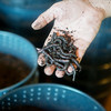 Globe/Roger Nomer<br /> Aaron Smith uses worms to make compost.