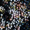 Globe/Roger Nomer<br /> Picked grapes will be used for wine at Keltoi Winery.