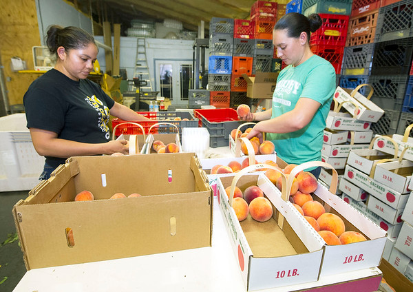 From the left: Ruby Rosa and Vanessa Trujillo sort and inspect peaches on Thursday at Murphy Orchard in Marionville. The duo are part of the 18 employees at the orchard.<br /> Globe | Laurie Sisk