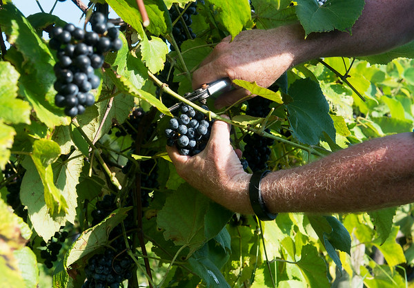 Globe/Roger Nomer<br /> Erv Langan picks grapes on Thursday morning at Keltoi Winery.