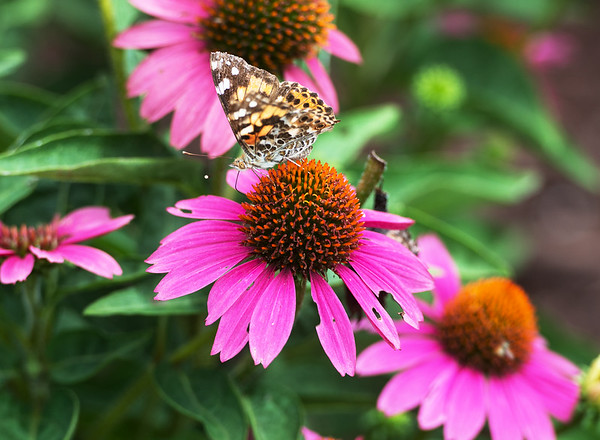 Globe/Roger Nomer<br /> A moth lands on flowers at the butterfly garden in Ewert Park on Tuesday afternoon.