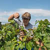 Globe/Roger Nomer<br /> Kathy Fall, Jasper, picks grapes on Wednesday at Keltoi Winery.