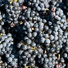 Globe/Roger Nomer<br /> Grapes are picked on Wednesday at Keltoi Winery.