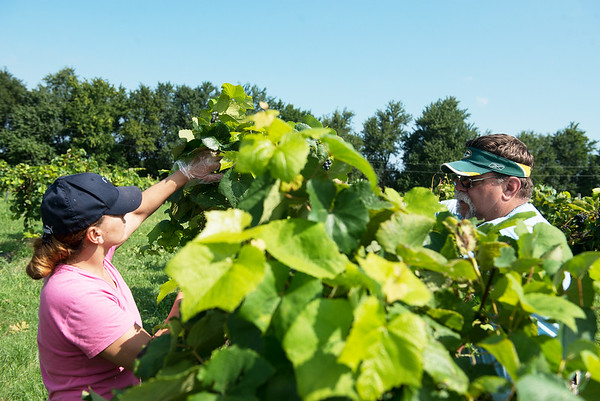 Globe/Roger Nomer<br /> Karuleen Bennett, Joplin, and AC Fall, Jasper, pick grapes on Wednesday at the Keltoi Winery.