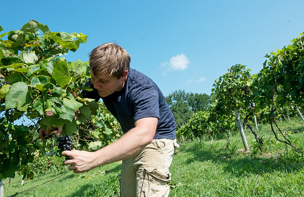 Globe/Roger Nomer<br /> Alec McDonald, Galena, picks grapes on Wednesday at Keltoi Winery.