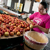 Vanessa Trujillo sorts apples on Friday at Murphy Orchard in Marionville.<br /> Globe | Roger Nomer