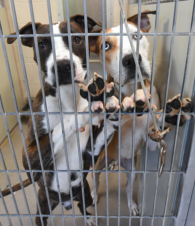 """From the left: """"Rowe,"""" a boxer/labrador mix and """"Nigel,"""" an American bulldog mix, peer from their pen at the Joplin Humane Society on Tuesday.<br /> Globe 