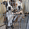 "From the left: ""Rowe,"" a boxer/labrador mix and ""Nigel,"" an American bulldog mix, peer from their pen at the Joplin Humane Society on Tuesday.<br /> Globe 