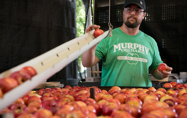 Wes Murphy sorts apples on Friday at Murphy Orchard in Marionville.<br /> Globe | Roger Nomer