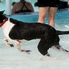 Bubba dashes through the water on Saturday during the Doggie Dive In at Ewert Park.<br /> Globe | Roger Nomer
