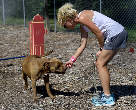 """Joplin Humane Society volunteer Kelly Johnson plays with """"Tebow,"""" a male pitbull. in the outdoor kennel at the Joplin Humane Society on Tuesday.<br /> Globe 