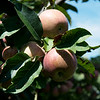 Fuji apples ripen on Friday at Murphy Orchard in Marionville.<br /> Globe | Roger Nomer