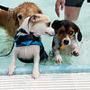 Dogs of all sizes and breeds joined in the fun on Saturday during the Doggie Dive In at Ewert Park.<br /> Globe | Roger Nomer