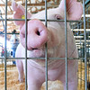 Lily, a 7-month old Yorkshire sow ownerd by Skylar Forkner, 10, of Fairland, Okla., checks out the scenery from her pen at the Ottawa County Fair in Miami on Tuesday.<br /> Globe | Laurie Sisk