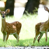 Twp fawns look up from grazing on a lawn on McClelland Blvd on Tuesday afternoon south of 32nd street.<br /> Globe | Laurie Sisk