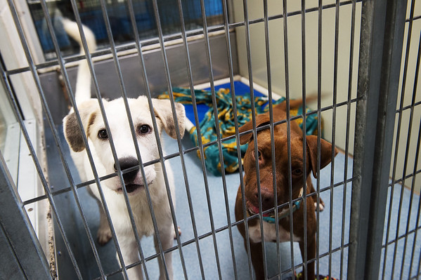 Minneapolis, left, and Doll await adoption at the Joplin Humane Society on International Dog Day, which happened on Monday.<br /> Globe | Roger Nomer