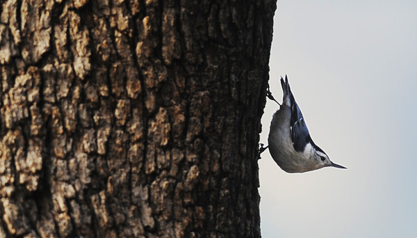 A white-breasted nuthatch looks around from the side of a tree trunk Saturday morning, Dec. 28, 2013, outside the Wildcat Glades Conservation & Audubon Center in Joplin during the bird count.<br /> Globe | T. Rob Brown