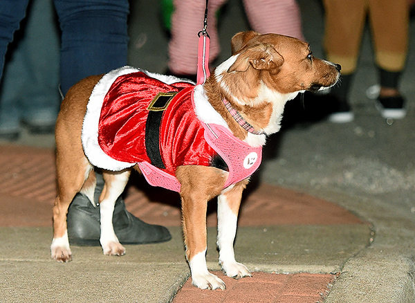 A festively dressed dog watches the sights during the Neosho Christmas Parade on Saturday night in downtown Neosho.<br /> Globe | Laurie Sisk