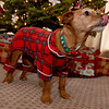 """Ginger"" Murdock displays her holiday spirit on Friday in her Joplin home.<br /> Globe 