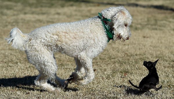 """Chief Brooklynn,"" a 1-year-old labradoodle, makes fast friends with ""Cocoa,"" a 9-month-old teacup Chihuahua as they frolic on a sunny Saturday at the Parr Hill Dog Park.<br /> Globe 