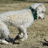 """""""Chief Brooklynn,"""" a 1-year-old labradoodle, makes fast friends with """"Cocoa,"""" a 9-month-old teacup Chihuahua as they frolic on a sunny Saturday at the Parr Hill Dog Park.<br /> Globe   Laurie Sisk"""