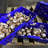 Baskets of crimini mushrooms sit on a pallet on Friday at the Miami's J-M Farms.<br /> Globe | Laurie Sisk
